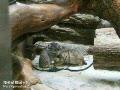 Pallas's Cat Baby 2